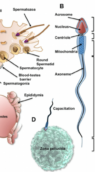 The-remarkable-anatomy-and-life-history-of-a-sperm-cell-ov7iiw7imtty8gmbg4onj9r1vz2fw19o4q5ymd1v88